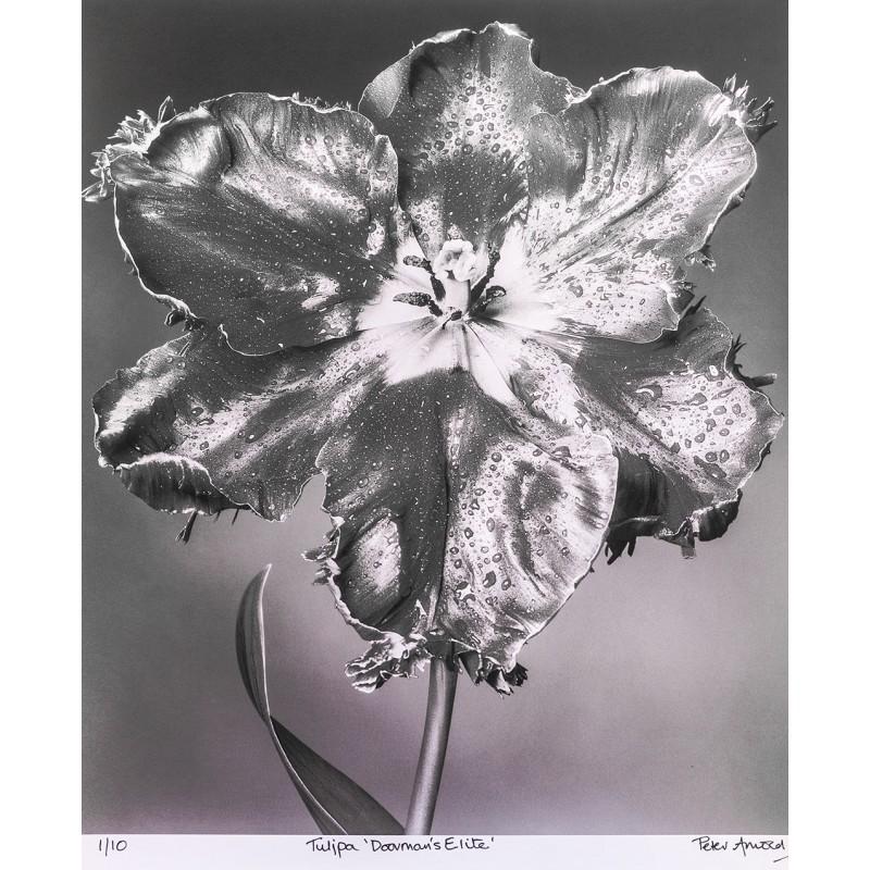 "PeterArnold: Tulipa ""Doorman's Elite"". Original photography (2006?)"